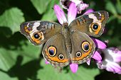 A beautiful buckeye butterfly resting on a flower. (Junonia Coenia). The buckeye is a medium-sized butterfly with two large multicolored eyespots on hindwings and one large eyespot on forewings. poster