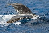 Humpback Whale Splashing Tail in Open Sea poster