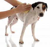 dog grooming - jack russel terrier being brushed poster