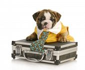 english bulldog puppy with tie stuck in a briefcase on white background poster
