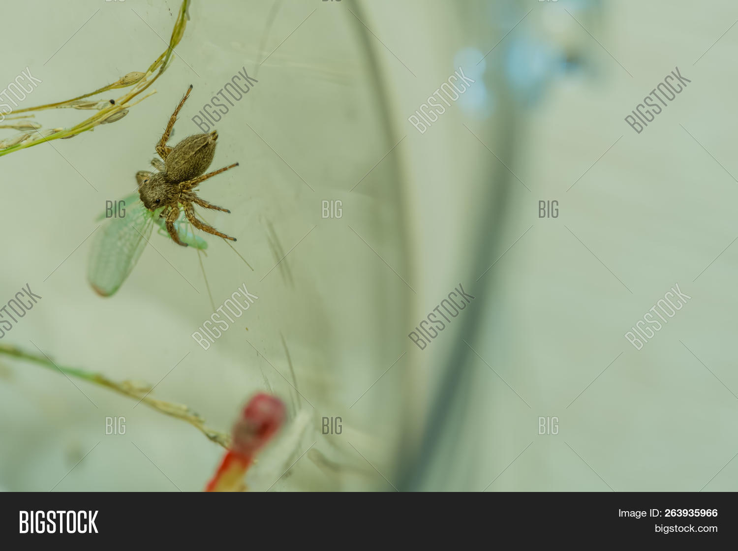 Jumping Spider Feeding Image & Photo (Free Trial) | Bigstock