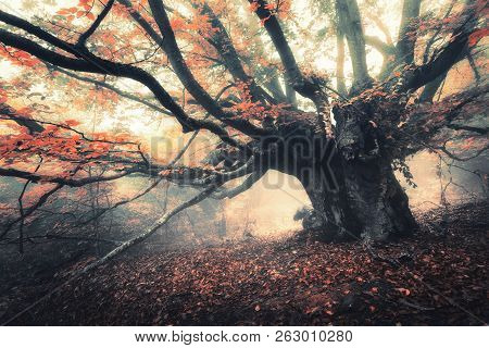 Old Magical Tree With Big Branches And Orange Leaves In Fog At Dusk. Mystical Autumn Foggy Forest. S