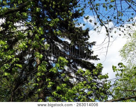 The Species Of Coniferous And Deciduous Trees In The Spring Is A Large Fluffy Coniferous Spruce, In