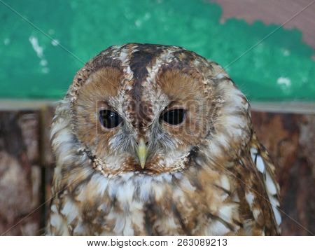 The Tawny Owl Or Brown Owl Is A Stocky, Medium-sized Owl Commonly Found In Woodlands Across Much Of