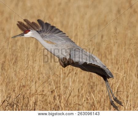 This sandhill crane is just taking off at Bosque del Apache. poster