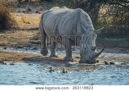 A Large Young Male Bull White Rhino Drinking Water From Makorwane Dam In Pilanesberg National Park