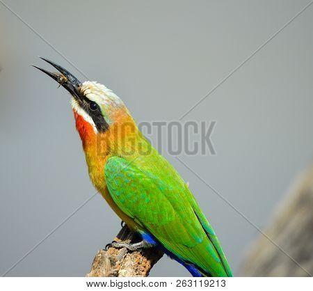 White Fronted Bee-eater In Pilanesberg National Park