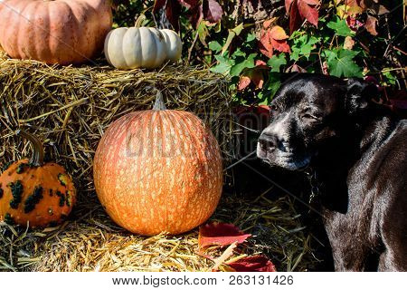 Beautiful Dog Thanksgiving Dog Or Halloween Dog And Pet Safety Conceptual Photography Background Wit