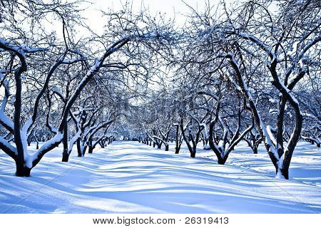 Ski track in winter snowy apple trees garden
