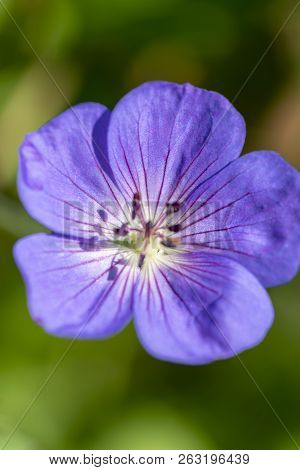 Close-up Image Of The Beautiful Summer Flowering Geranium Maderense Violet Flower, Also Known As Gia