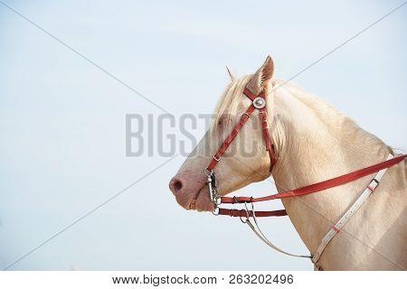 Beautiful White Horse With Seashell On Head Mimicking Unicorn