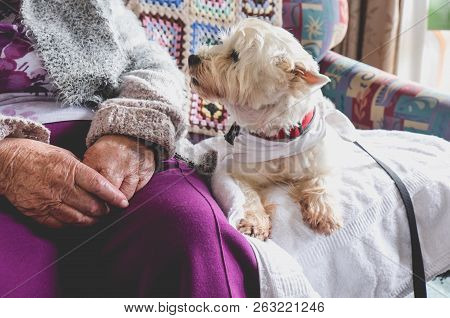 Therapy Pet On Couch Next To Elderly Person In Retirement Rest Home For Seniors - Dog Is Looking At