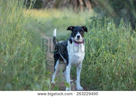 Dog In Nature With Alert Position Ready To Run