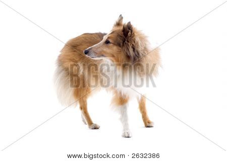 One Lovely Shetland Dog