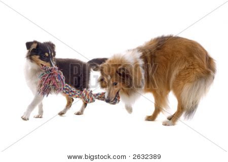 Two Adorable Shetland Dogs Playing With A Rope