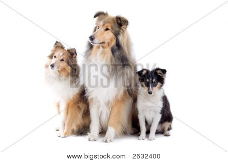 Three Adorable Shetland Dogs