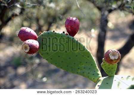 Barbari Fig Tree In Closeup Photographing At Cadaques In Spain