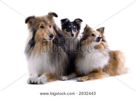 Shetland Dogs Posing
