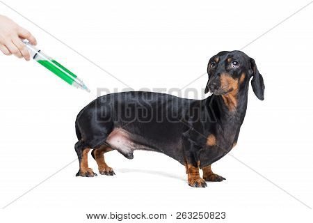 Sick And Ill Dachshund  Dog  Isolated On White Background With Syringe Green Vaccine, Scared Look On