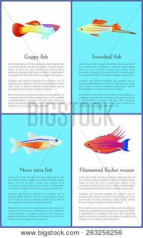Colorful Guppy And Swordtail Fishes Vector Posters, Illustration Of Neon Tetra And Exotic Filamented