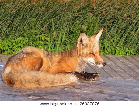 A wild female fox laying on a picknic table waiting for handouts.