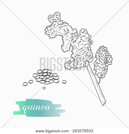 Quinoa Grain And Plant Vector Sketch. Quinoa Plant Hand Drawn Illustration Isolated On White Backgro