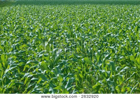 New Corn Field