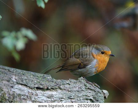 Robin (erithacus Rubecula) As Seen In Autumn Woodland