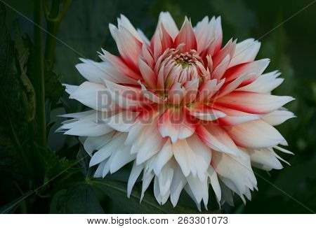 Closeup Of A White Red Colored Dahlia Flower In A Natural Garden Environment