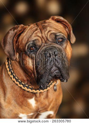 Big Dog Moloss French Mastiff