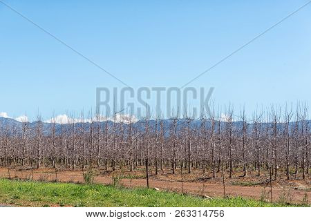 Farm Landscape On Road R46 Near Ceres In The Western Cape Province. Espalier Fruit Trees Are Visible
