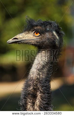 Male Adult Australian Emu (dromaius Novaehollandiae), View Of An Emu's Neck And Head