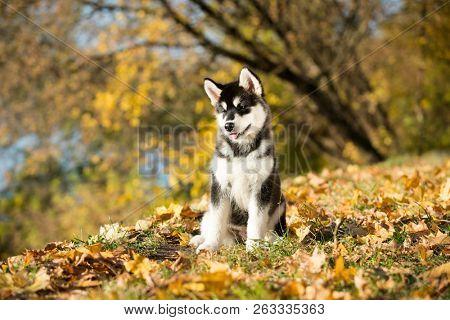 puppy of alaskan malamute