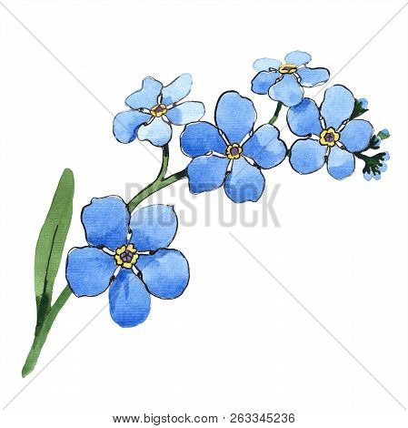 Watercolor Blue Forget-me-not Flower. Floral Botanical Flower. Isolated Illustration Element.