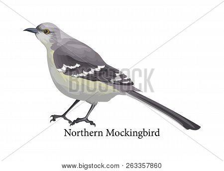 Northern Mockingbird Realistic Exotic With Grey Beak