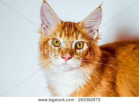 Maine Coon Cat Giant Maine Coon Cat. Breeding Of Purebred Cats At Home.