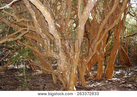 Arrayan Trees - Neuquen Province - Argentina
