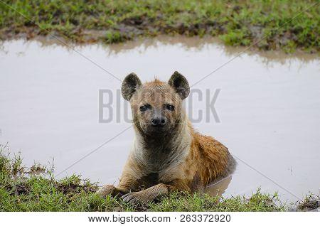Spotted Hyena - Ngorongoro Crater - Tanzania