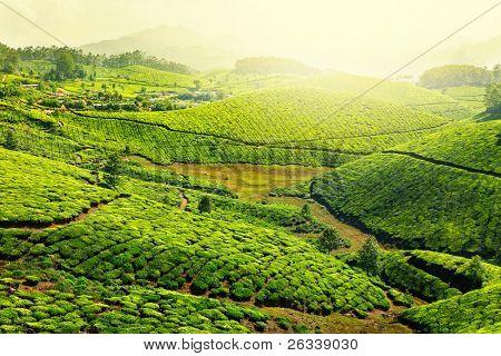 Landscape - Tea plantation fields in morning fog on sunrise. Munnar, Kerala, India