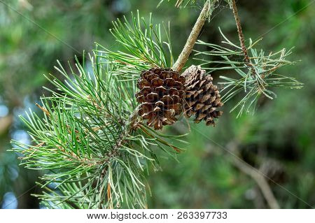 Pine Cones On A Tree