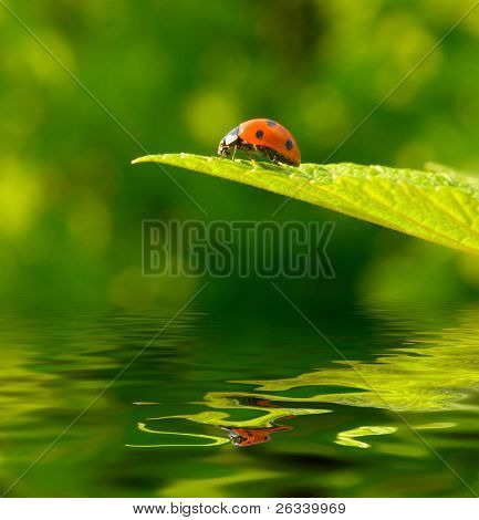 Red ladybug (Coccinella septempunctata) on green leaf with reflection