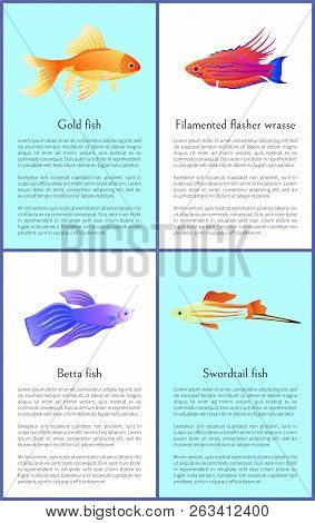 Gold Betta And Swordtail Fishes With Filamented Flasher Wrasse Colorful Banners Isolated On White Ba
