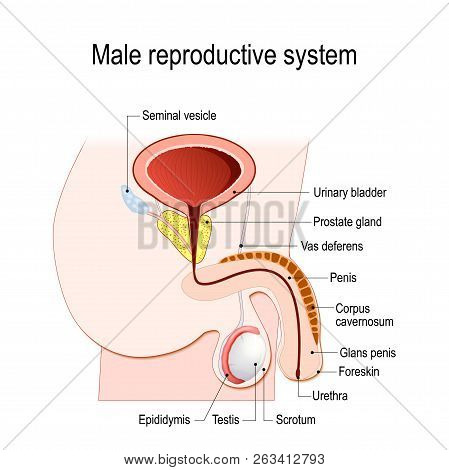 Male Reproductive System (seminal Vesicle, Vas Deferens, Prostate Gland, Testicles And Epididymis).