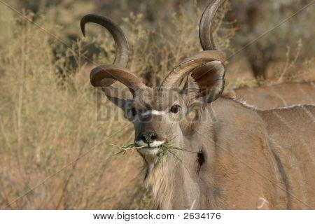 Alimentación Kudu