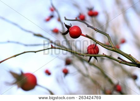 Rose Hip Twig - Blue Sky In Background