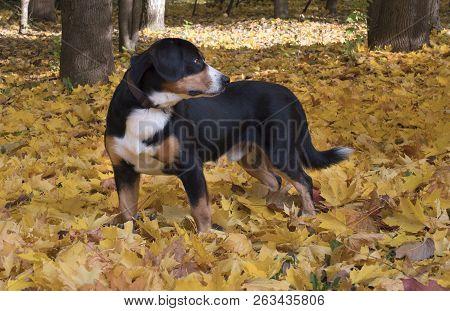 The Entlebucher Sennenhund In The Autumn Forest
