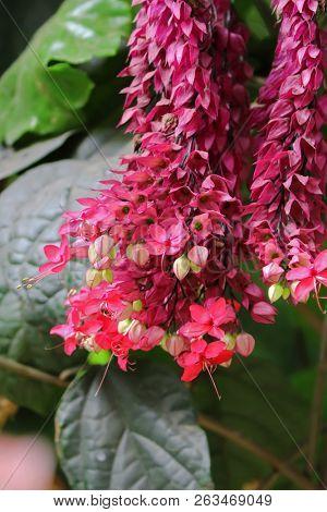 Pink flower of bleeding heart vine, also called bleeding glory-bower in Africa (Clerodendrum thomsoniae)