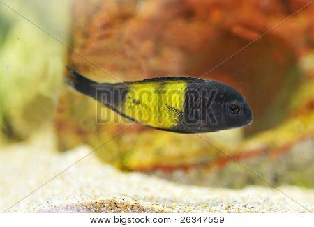 Mbuna Cichlidae Africane
