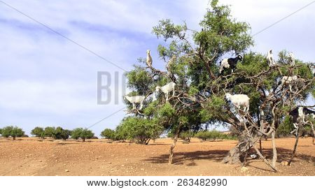 Famous moroccan scene - goats on the argan tree, Morocco, North Africa