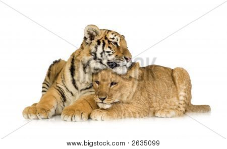 Lion Cub (5 Months) And Tiger Cub (5 Months)
